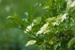 Kwiaty czarnego bzu. Receptury lecznicze, kosmetyczne i kulinarne