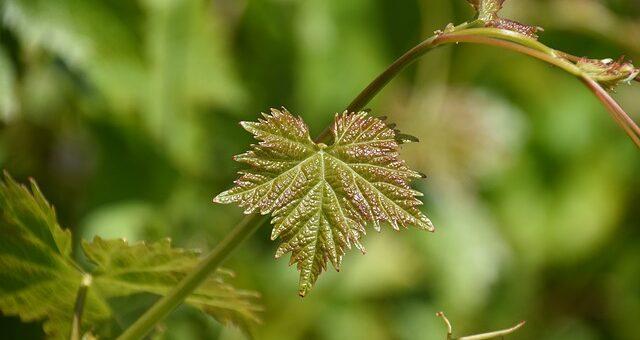 liście winorośli lecznicze przepisy