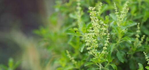 Tulasi - święta bazylia na płuca, drogi oddechowe, przeciw nowotworom