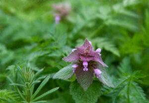 Kwiat jasnoty purpurowej