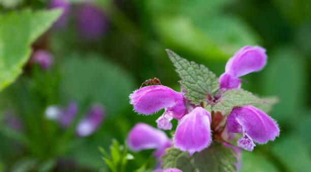 jasnota purpurowa Lamium purpureum