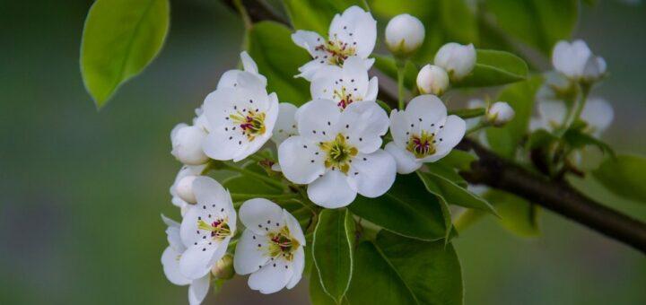 Liście gruszy, kwiaty i gałązki na oczyszczenie, wzmocnienie i leczniczo