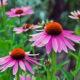 Jeżówka purpurowa dla wzmocnienia, przy grypie, ale nie na przeziębienie