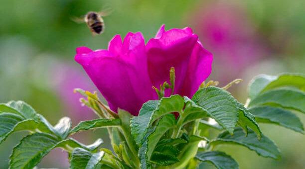 Kwiaty dzikiej róży dla urody, zdrowia, relaksu i w kuchni. Przepisy