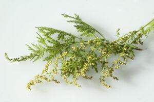słodki piołun Artemisia annua